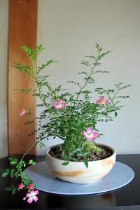 ミニバラ盆栽 - リリ子の一坪ガーデン
