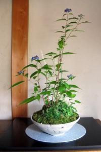 ヤマアジサイ「藍姫」 - リリ子の一坪ガーデン