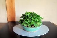 姫ギボウシと多肉エケベリア - リリ子の一坪ガーデン