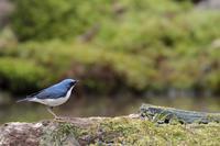 峠の水場のコルリとキビタキとアカハラ - 八分目とり日記 (Easygoing Photo Diary)