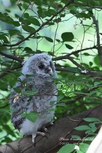 フクロウの巣立ち - フォト エチュード  Photo-Etudes