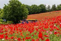 真っ赤な絨毯 - あだっちゃんの花鳥風月