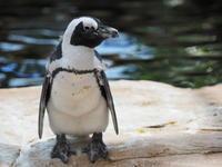 ケープペンギン! - さして意味なし、面白くもなし