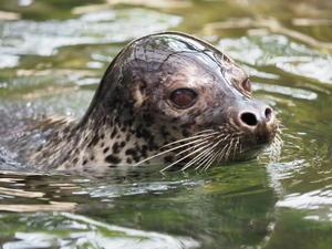 ずっと泳いでるゴマフアザラシ! - さして意味なし、面白くもなし