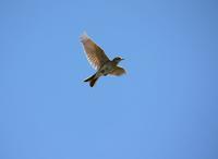 今日の鳥さん 170528 - 万願寺通信