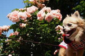 """相模原北公園~薔薇~ - パインと私の毎日が""""ワン!だふる"""" ・ 2"""