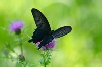 アザミに集う蝶 クロアゲハ Byヒナ - 仲良し夫婦DE生き物ブログ