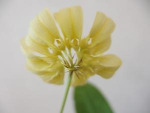 バルボ(シルホペタラム)開花中 - #D1BADA