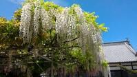 <西条の藤その3>紫海蘭もキレイな長福寺の藤 - Meenaの日記