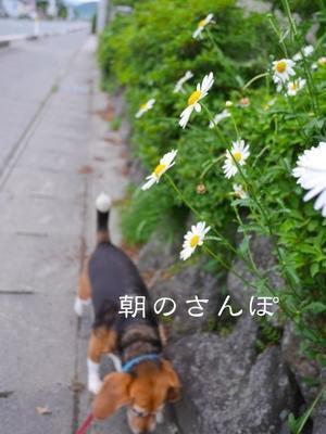 朝のさんぽ 5月28日 - ビーグル犬・ビーズ2