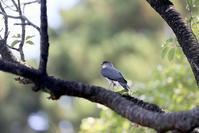 ツミ - Sakuの野鳥フォトアルバム