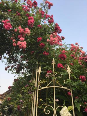 ドロシーパーキンスとキングのアーチ - botaniの庭通信
