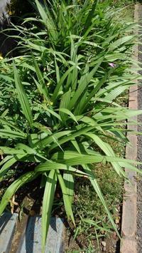 花柄摘み - うちの庭の備忘録 green's garden