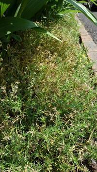 芝桜をカット - うちの庭の備忘録 green's garden