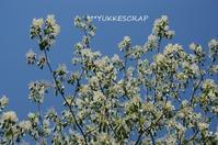 5月の八ヶ岳の森から ~今年はミズキの花が盛大に咲いて~ - YUKKESCRAP
