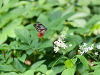 旅する蝶アサギマダラを赤城自然園で激写!♪ - 『私のデジタル写真眼』