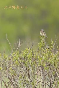 ホオアカ - 北の野鳥たち