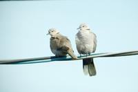 シラコバト - barbersanの野鳥観察