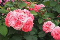 まだバラがきれい - ねこ飛び出し注意