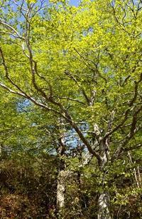 宮城蔵王のムラサキヤシオ - 標高480mの窓からⅡ