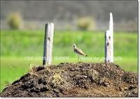 侵入者に集団で立ち向かう大型チドリ類、ケリ - THE LIFE OF BIRDS --- 野鳥つれづれ記