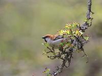 高原でニュウナイスズメ - 『彩の国ピンボケ野鳥写真館』