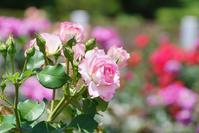 長居植物園のバラ@2017-05-26 - (新)トラちゃん&ちー・明日葉 観察日記