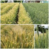 麦畑 - ■■ Ainame60 たまたま日記 ■■