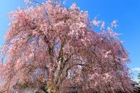 京都の桜2017 京北町の桜たち - 花景色-K.W.C. PhotoBlog