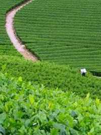 豊かな茶畑 和束町 - Blue Planet Cafe  青い地球を散歩する