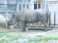 クロサイ・アイさんの角磨き @東山動物園 2017.05.13 - ごきげんよう 犀たち