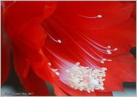 真っ赤な花 クジャクサボテン・アマリリス - 野鳥の素顔 <野鳥と・・・他、日々の出来事>