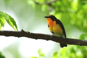 2017年5月 - 青梅から花鳥風景