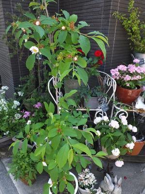 オークリーフ(姫沙羅とホタルブクロ) - Oak leaf