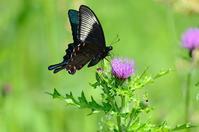 アザミに集う蝶 カラスアゲハのオス Byヒナ - 仲良し夫婦DE生き物ブログ