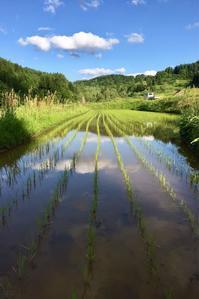 田植え後 - 松之山の四季2