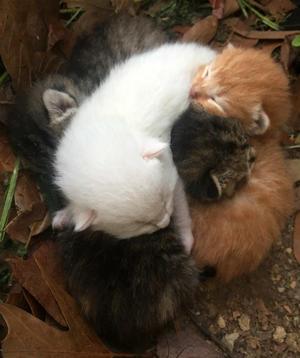 生後2週間のふわふわ子猫観察&新たな発見 - アメリカ南部ど田舎奮闘記