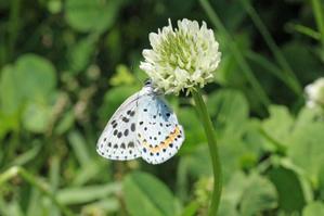 オオルリシジミ安曇野の公園で - 蝶のいる風景blog