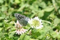 オオルリシジミ  安曇野の公園で - 蝶のいる風景blog