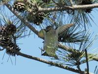 新潟のコムク - 気ままな野鳥観察