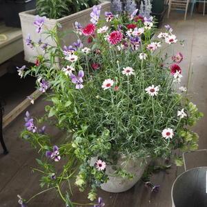 寄せ植えの解体 - sola og planta ハーブとお花のお庭日記