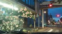 通勤路の薔薇。今日の庭。 - ぺりどっと コム