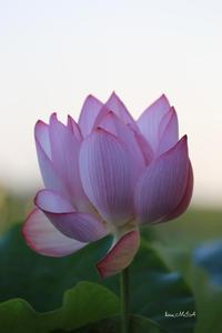 便利と不便 - A primrose by the river's brim