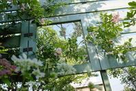 可愛い薔薇 - お庭のおと