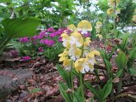 5月裏庭3 - ユリ 百合 ゆり 魚沼農場の日々
