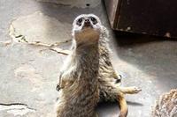 上野動物園・小獣館の動物たち:ぺった~んミーアキャット - 続々・動物園ありマス。