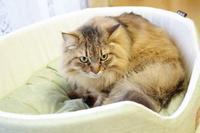 新しい猫ベッドもいい感じ♪ - きょうだい猫と仲良し暮らし
