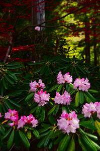 東北の石楠花 - 風の香に誘われて 風景のふぉと缶
