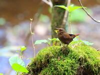 高原でミソサザイ - 『彩の国ピンボケ野鳥写真館』