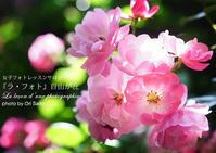"""野ばらのエチュード - 東京女子フォトレッスンサロン『ラ・フォト自由が丘』の""""恋するカメラ"""""""